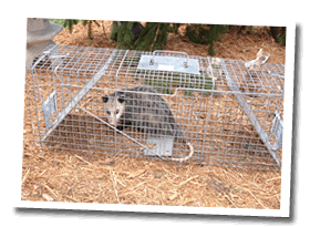 Wildlife Removal and Control of Possum in Raleigh