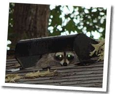Animal Control Wildlife Removal Raleigh Nc Bat Extermination Bat
